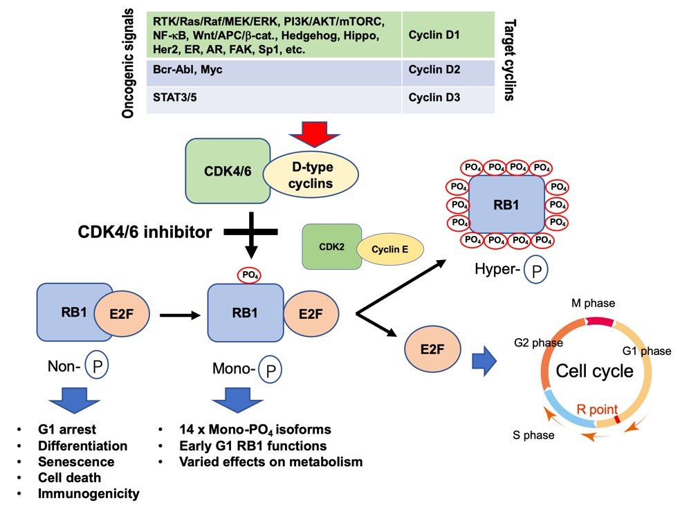 Figure 1 Almost all carcinogenic signals brake RB1 function through activation of CDK4/6.